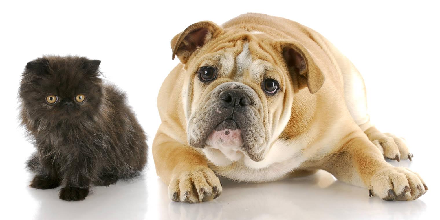 Bulldog with Kitten